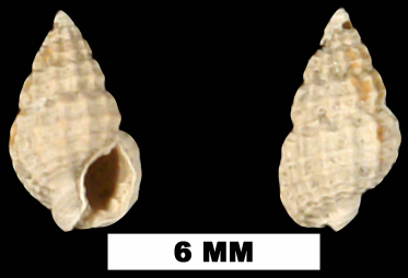 <i>Nassarius quadridentatus</i> from the Late Pliocene Jackson Bluff Fm. of Leon County, Florida (UF 80136).