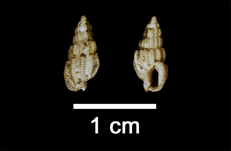 <i>Nassarius quadrulatus</i> from the Late Pliocene Yorktown Fm. of Isle of Wight County, Virginia (SDSM 112576).