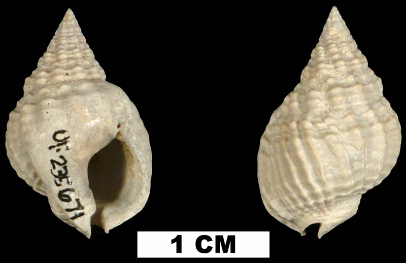 <i>Nassarius vibex</i> from the Middle Pleistocene Bermont Fm. of Collier County, Florida (UF 235671).