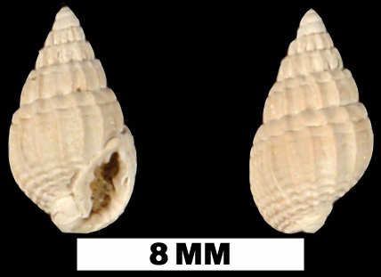 <i>Nassarius waltonensis</i> from the Middle Miocene Shoal River Formation of Walton County, Florida (UF 89757).