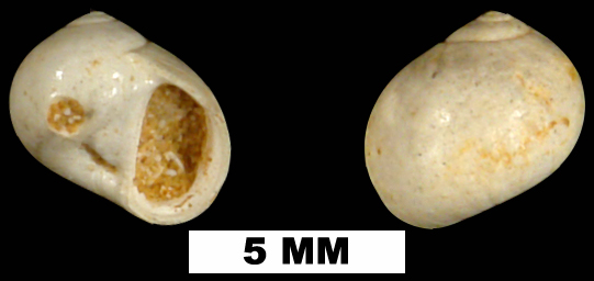 <i>Natica alticallosa</i> from the Early Miocene Chipola Fm. of Calhoun County, Florida (UF 72324).