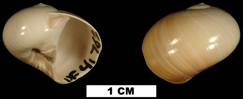 <i>Natica chipolanus</i> from the Early Miocene Chipola Fm. of Calhoun County, Florida (UF 41762).