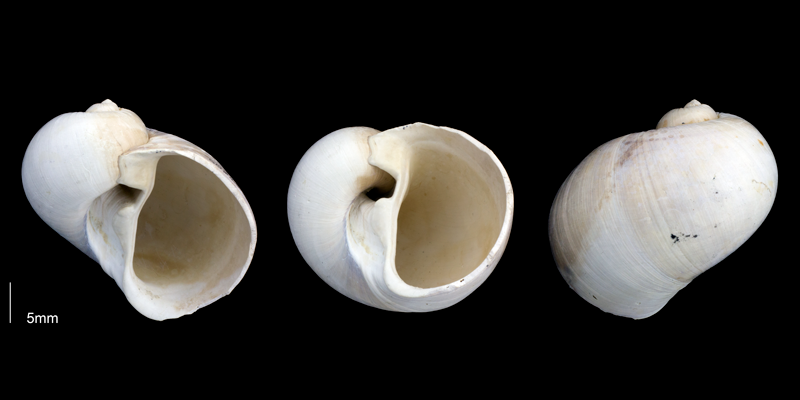 <i>Naticarius plicatella</i> from the Late Pliocene Tamiami Fm. (Pinecrest Beds) of Sarasota County, Florida (PRI 69688).