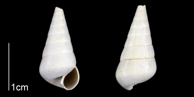 <i>Niso willcoxiana</i> from the Late Pliocene Tamiami Fm. (Pinecrest Beds) of Sarasota County, Florida (PRI 70265).