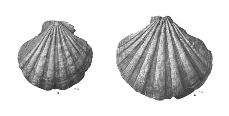 Specimen of <i>Nodipecten collierensis</i> figured by Mansfield (1932, pl. 16, fig. 3 and 5); 104 and 142 mm, respectively.