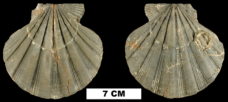 <i>Nodipecten collierensis</i> from the Late Pliocene Tamiami Fm. (Ochopee Limestone) of Collier County, Florida (UF 221889).