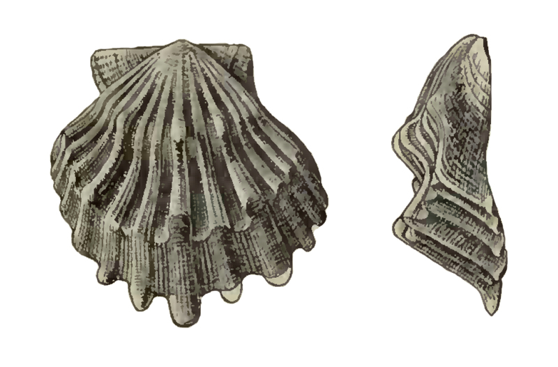 Specimen of <i>Nodipecten condylomatus</i> figured by Dall (1898, pl. 34, fig. 14 and 15); 24 mm in length.
