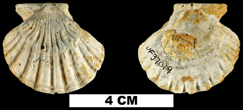 <i>Nodipecten condylomatus</i> from the Early Miocene Chipola Fm. of Calhoun County, Florida (UF 37019).