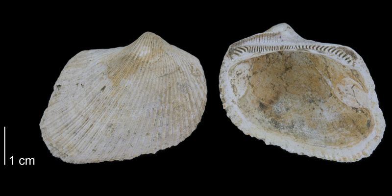 <i>Noetia limula</i> from the Early Pleistocene Waccamaw Fm. of Brunswick County, North Carolina (PRI 70472).