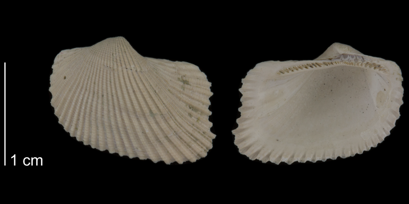 <i>Noetia limula</i> from the Early Pleistocene Waccamaw Fm. of Brunswick County, North Carolina (PRI 70502).
