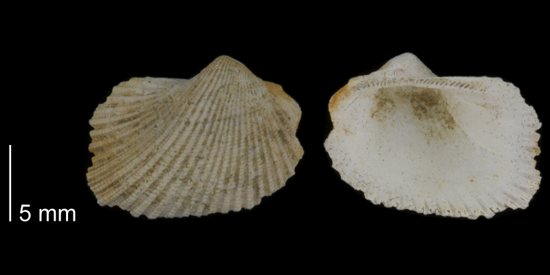 <i>Noetia limula</i> from the Early Pleistocene Waccamaw Fm. of Brunswick County, North Carolina (PRI 70508).
