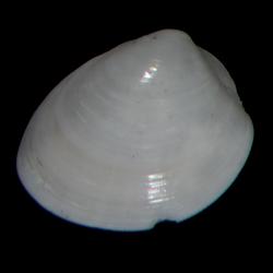 Nuculidae
