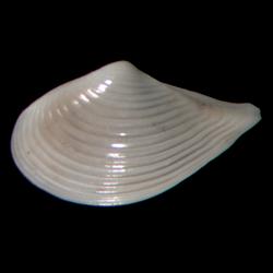 Nuculana acuta