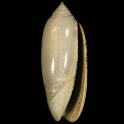 Americoliva carolinensis