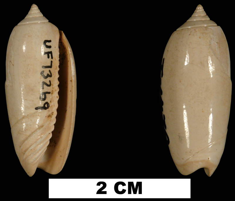 <i>Oliva liodes</i> from the Early Miocene Oak Grove Sand of Okaloosa County, Florida (UF 73269).