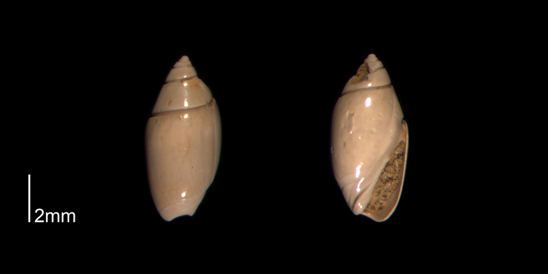 <i>Olivella mutica</i> from the Early Pleistocene James City Fm. of Beaufort County, North Carolina (PRI 70501-1).