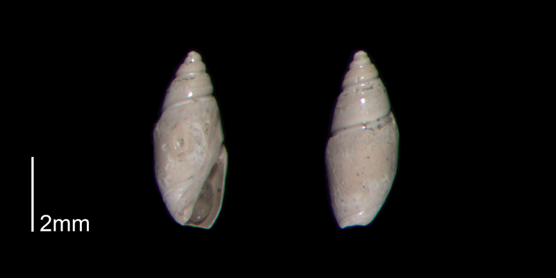 <i>Olivella mutica</i> from the Early Pleistocene James City Fm. of Beaufort County, North Carolina (PRI 70501-2).