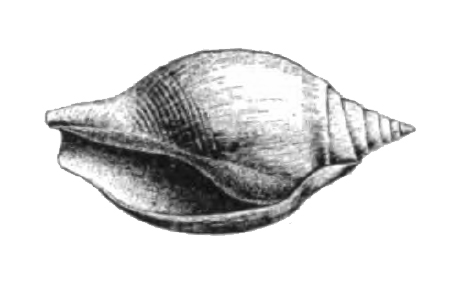 Specimen of young <i>Orthaulax gabbi</i> figured by Dall (1890, pl. 12, fig. 5); 37.0 mm in length.