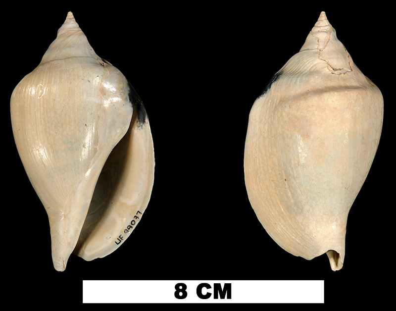 <i>Orthaulax gabbi</i> from the Early Miocene Chipola Fm. of Calhoun County, Florida. (UF 99037).