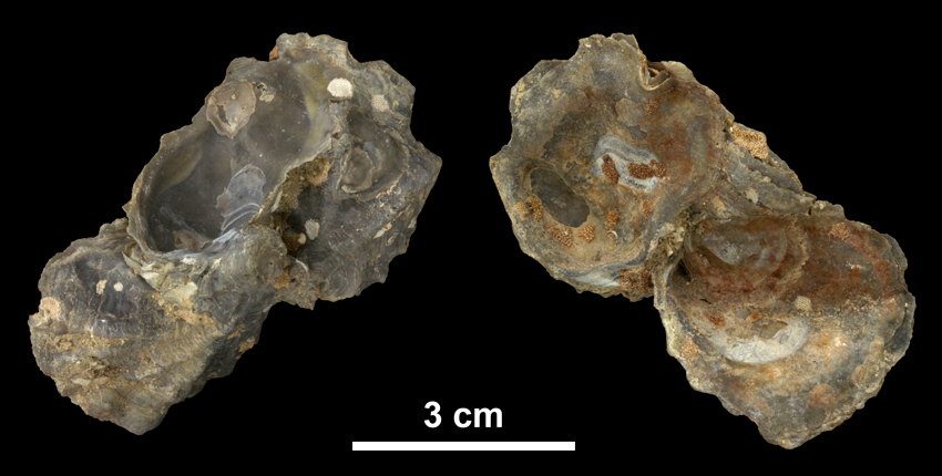 Clump of <i>Ostrea lawrencei</i> left valves from the Early Pleistocene James City Fm. of Beaufort County, North Carolina (PRI 69854).