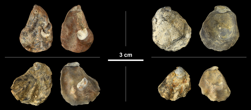 <i>Ostrea lawrencei</i> right valves from the Early Pleistocene James City Fm. of Beaufort County, North Carolina (PRI 69854).