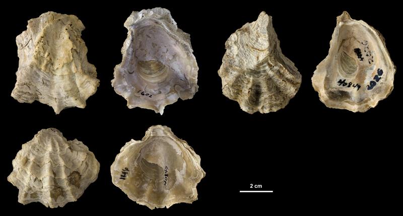 <i>Ostrea sculpturata</i> left valves from the Plio-Pleistocene (formation unknown) of DeSoto County, Florida (PRI 40847).