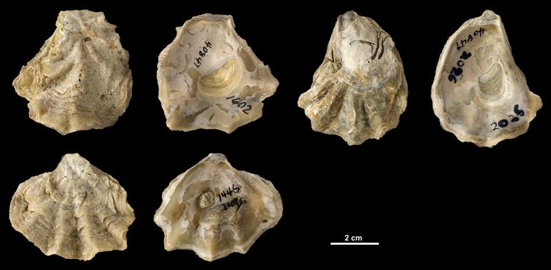 <i>Ostrea sculpturata</i> right valves from the Plio-Pleistocene (formation unknown) of DeSoto County, Florida (PRI 40847).
