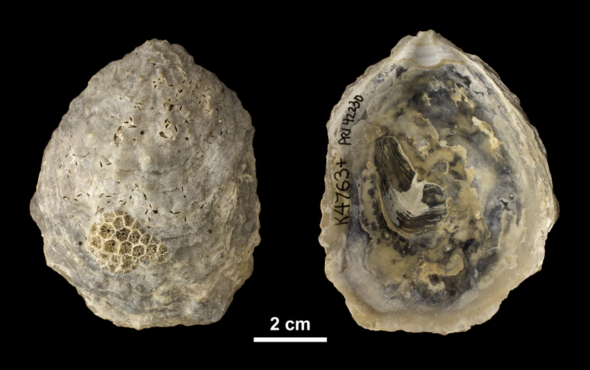 Left valve of <i> Ostrea subdigitalina </i> from the Plio-Pleistocene Caloosahatchee Fm. of Southern Florida (PRI 42230).
