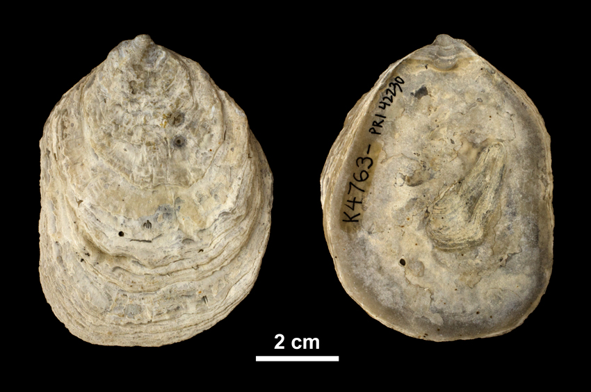 Right valve of <i> Ostrea subdigitalina </i> from the Plio-Pleistocene Caloosahatchee Fm. of Southern Florida (PRI 42230).