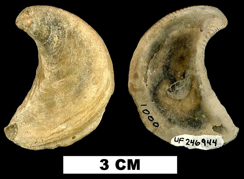 <i>Ostrea coxi</i> from the Late Pliocene Tamiami Fm. (Pinecrest Beds) of Sarasota County, Florida (UF 246944).