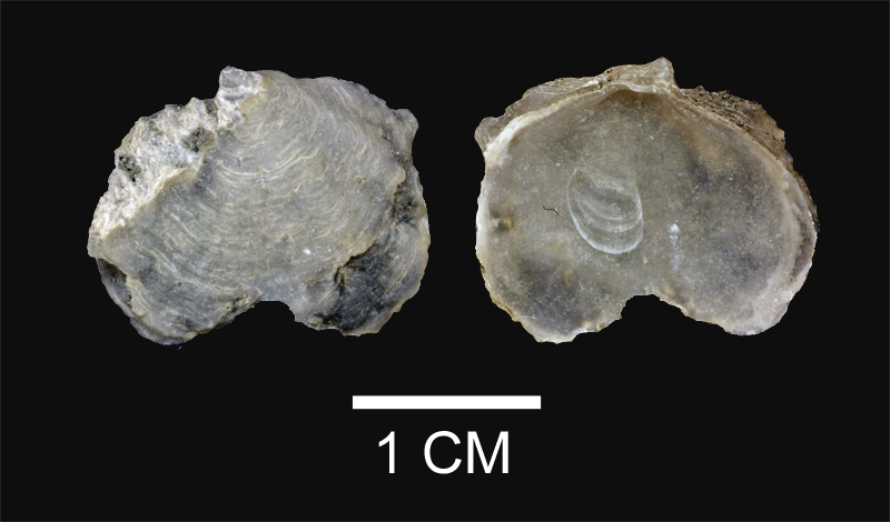 <i>Ostrea raveneliana</i> from the Yorktown Fm. of Isle of Wight County, Virginia (SDSM 112639).