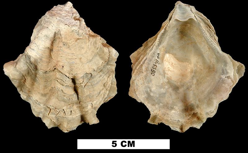 <i>Ostrea sculpturata</i> from either the Early Pleistocene Caloosahatchee Fm. or Middle Pleistocene Bermont Fm. of Okeechobee County, Florida (UF 145590).
