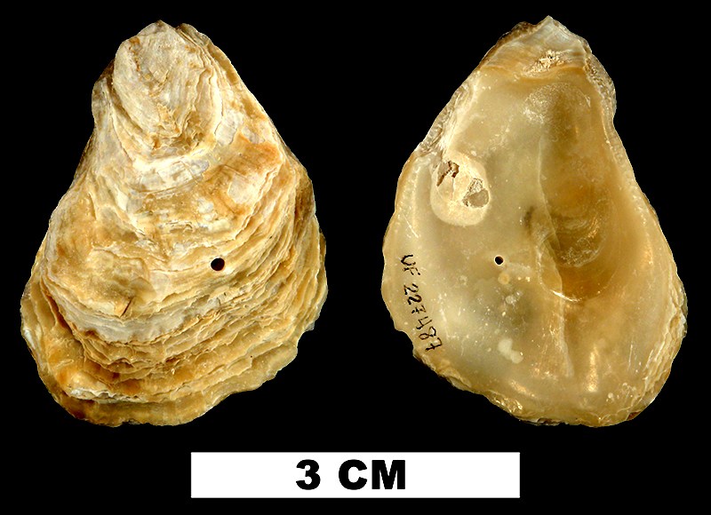 <i>Ostrea stentina</i> from the Middle Pleistocene Bermont Fm. of Miami-Dade County, Florida (UF 227487).