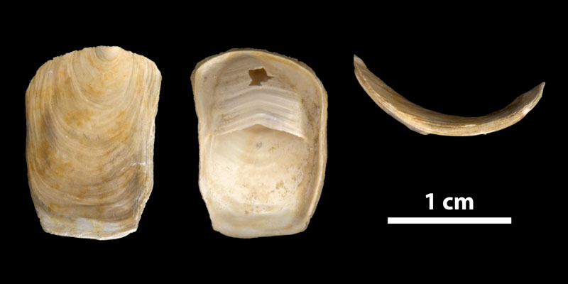 <i>Crepidula plana</i> from the Late Pliocene Tamiami Fm. (Pinecrest Beds) of Sarasota County, Florida (PRI 70166).