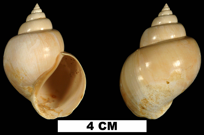 <i>Pachycrommium dodonum</i> from the Early Miocene Chipola Fm. of Calhoun County, Florida (UF 87192).