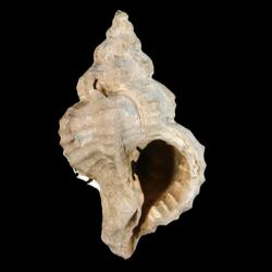 Calotrophon clarksvillensis