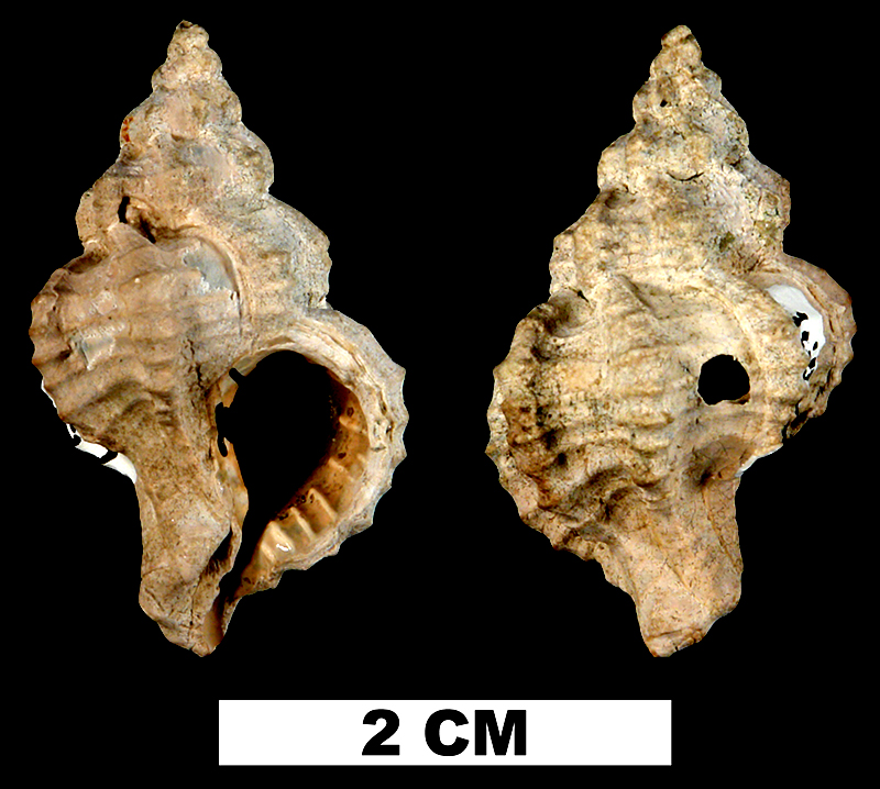 <i>Calotrophon clarksvillensis</i> from the Late Pliocene Jackson Bluff Fm. of Liberty County, Florida (UF 117352).
