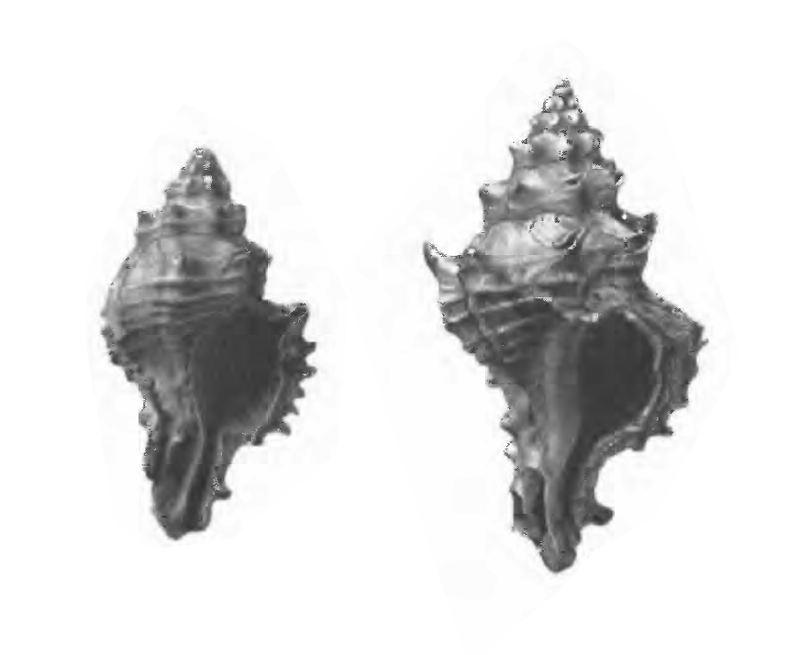 Specimen of <i>Panamurex lychnia</i> figured by Gardner (1947, pl. 53, fig. 12 and 13); 25.5 mm and 16.9 mm in length, respectively.