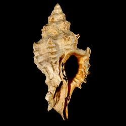Calotrophon lychnia