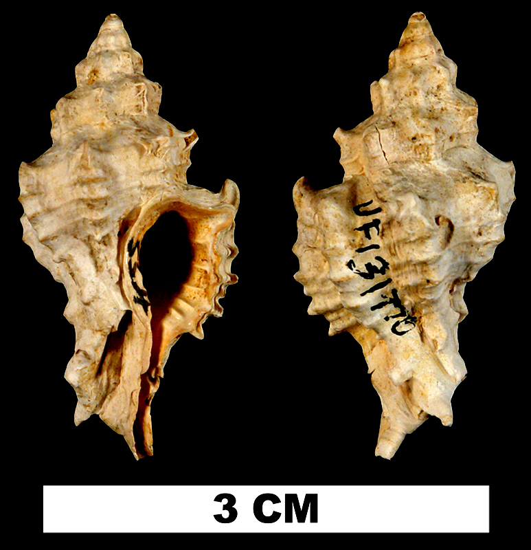 <i>Calotrophon lychnia</i> from the Early Miocene Chipola Fm. of Calhoun County, Florida (UF 131770).