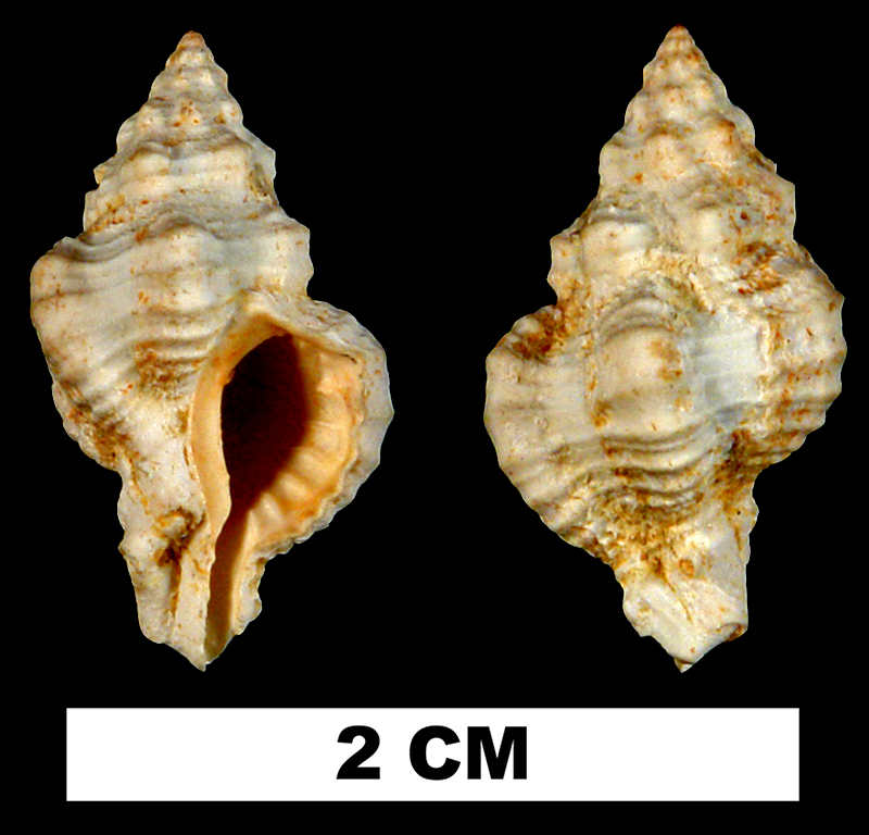 <i>Calotrophon mauryae</i> from the Early Miocene Chipola Fm. of Calhoun County, Florida (UF 132385).