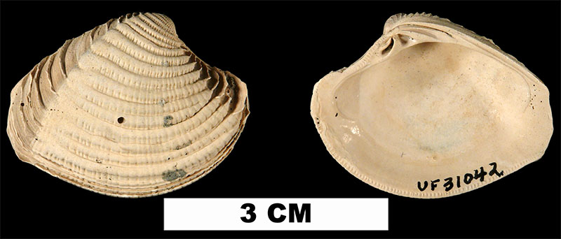 <i>Panchione ulocyma</i> from the Plio-Pleistocene (formation unknown) of Sarasota County, Florida (UF 31042).