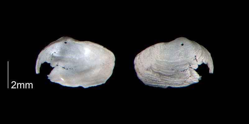 <i>Panopea floridana</i> from the Early Pleistocene Waccamaw Fm. of Brunswick County, North Carolina (PRI 70447).
