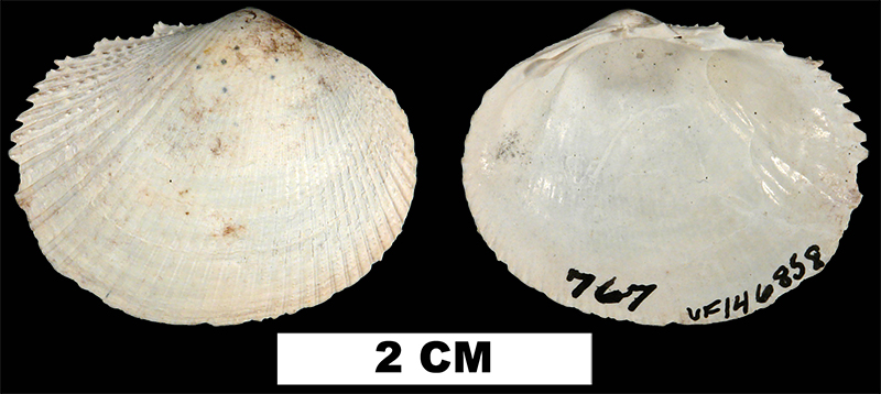<i>Papyridea lata</i> from either the Early Pleistocene Caloosahatchee Fm. or the Middle Pleistocene Bermont Fm. of Glades County, Florida (UF 146858).