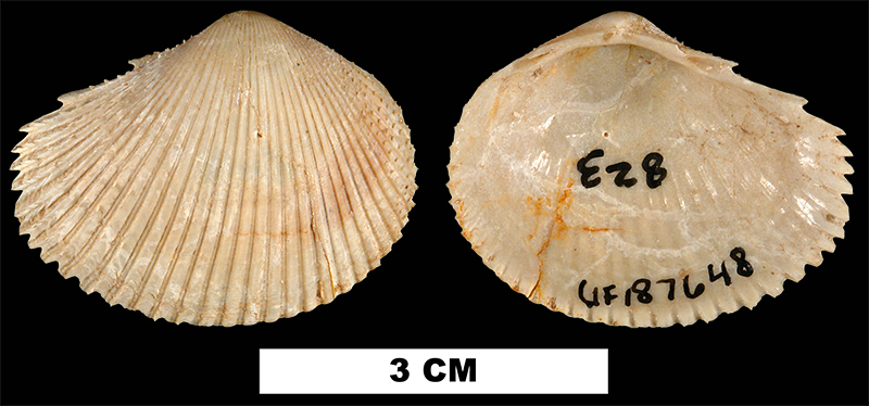<i>Papyridea miocica</i> from the Early Miocene Chipola Fm. of Calhoun County, Florida (UF 187648).