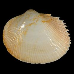 Papyridea multicostula