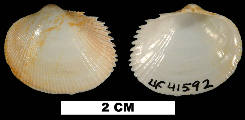 <i>Papyridea multicostula</i> from the Early Miocene Chipola Fm. of Calhoun County, Florida (UF 41592).