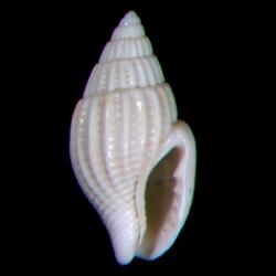Parvanachis obesa