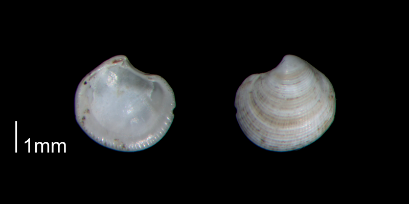 <i>Parvilucina crenella</i> from the Early Pleistocene Waccamaw Fm. of Brunswick County, North Carolina (PRI 70409).