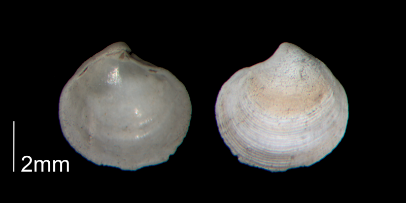 <i>Parvilucina crenella</i> from the Early Pleistocene Waccamaw Fm. of Brunswick County, North Carolina (PRI 70448-1).